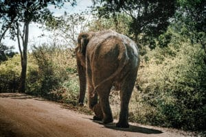 Yala Nationalpark - Elefant