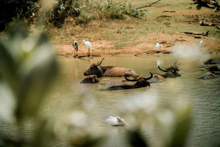 Sri Lanka Safari Wasserbüffel
