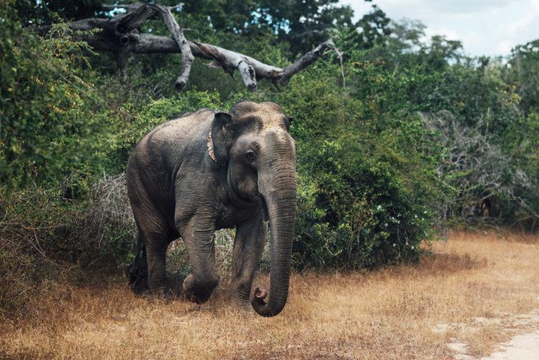 Yala Nationalpark - Elefant