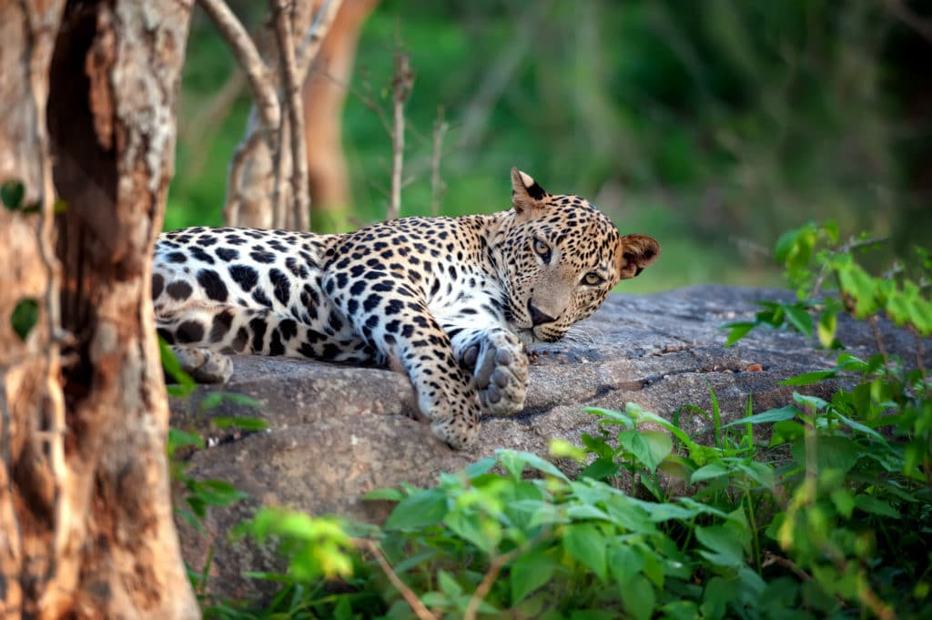 Yala Nationalpark - Leopard