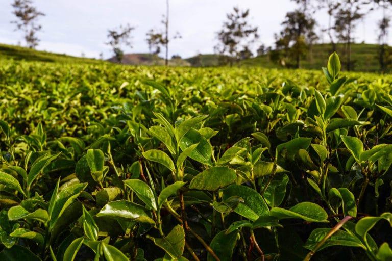 Tee in Sri Lanka